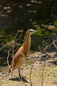 Young Little Bittern walks near a lake, medium sized European bird
