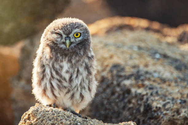 Young Little owl, Athene noctua, stand on the stones with one eye open stock photo