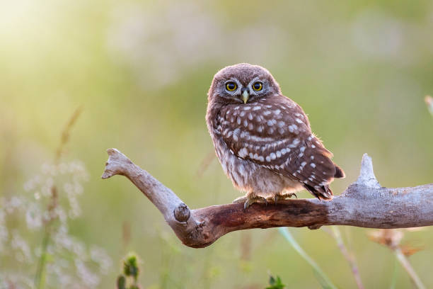 Young Little owl, Athene noctua,sitting on a stick against a blurred natural background. With copy space stock photo