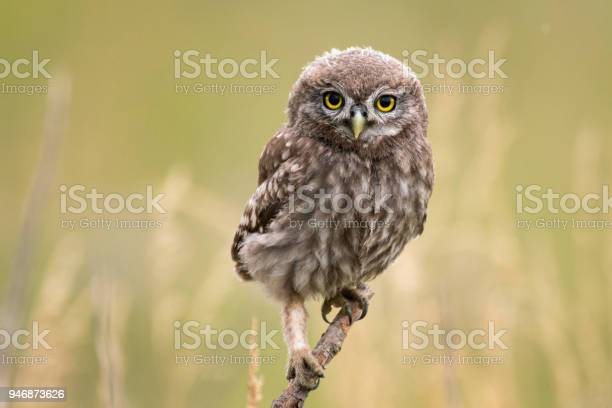 Young little owl sitting on a branch looking at the camera picture id946873626?b=1&k=6&m=946873626&s=612x612&h=okvyptxqcrezvhxaly3vxpyypdrtiqopueezfgoi2wa=