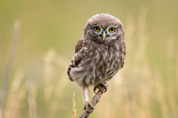 A young little owl (Athene noctua) sitting on a branch looking at the camera stock photo