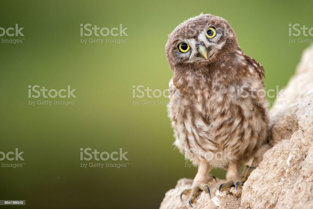 Young little owl (Athene noctua) stands near his hole. Young little owl (Athene noctua) stands near his hole on the beautiful background. Animal Body Part Stock Photo