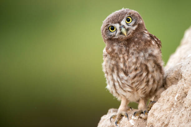 Young little owl (Athene noctua) stands near his hole. stock photo