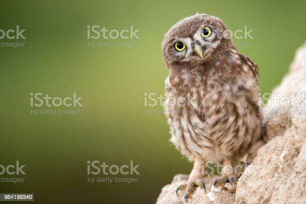 Young Little Owl Stands Near His Hole Stock Photo - Download Image Now
