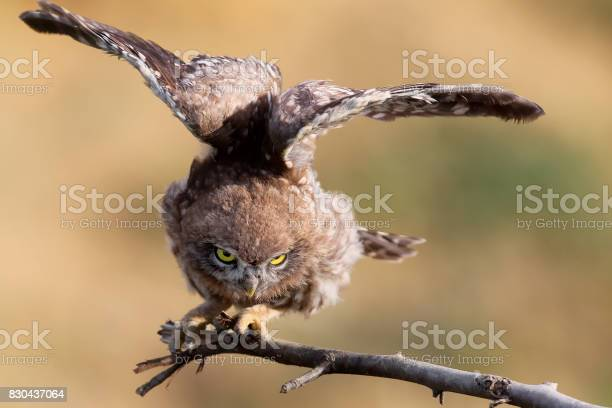 Young little owl with open wings on blurry background close up view picture id830437064?b=1&k=6&m=830437064&s=612x612&h=mbykuycnhl7qnuo6ihay5tkbjzbpo1rgf 9nvhukba0=