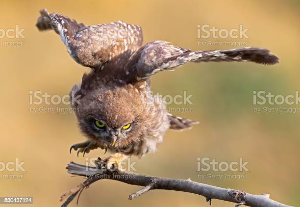 Young little owl with open wings on blurry background close up view picture id830437124?b=1&k=6&m=830437124&s=612x612&h=jzx3pbgracw3fvx3zlaaokzh6psgkyknlhavd1iumdi=