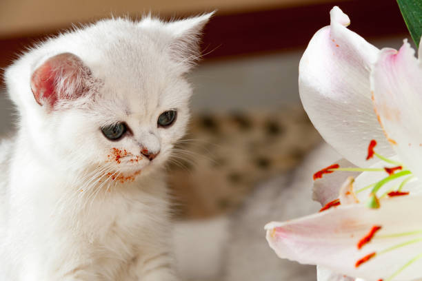 Young little white British cat sitting next to a Lily flower stock photo