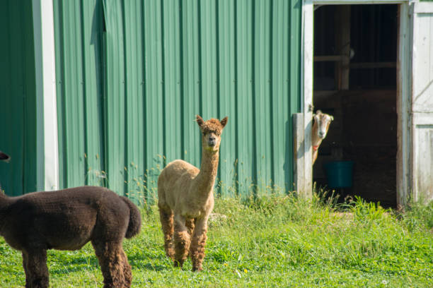 young llama outside barn - cud stock pictures, royalty-free photos & images
