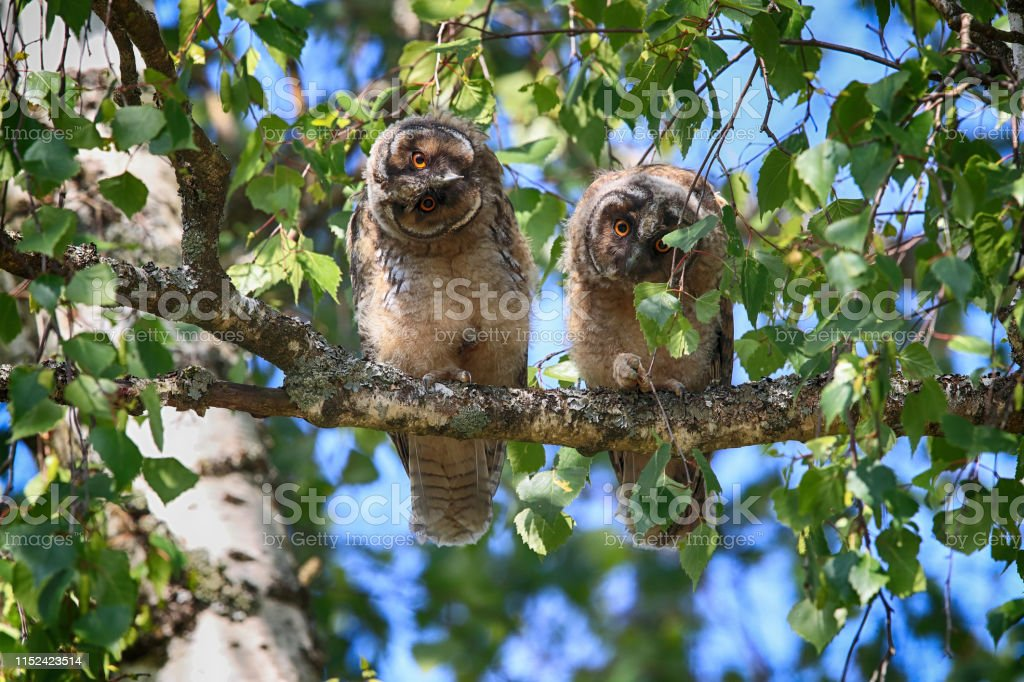 Young long-eared owl sitting in tree, young animal Germany