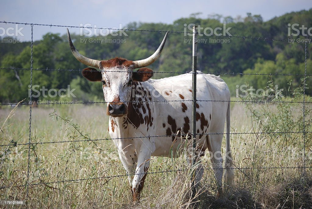 Young longhorn cattle royalty-free stock photo