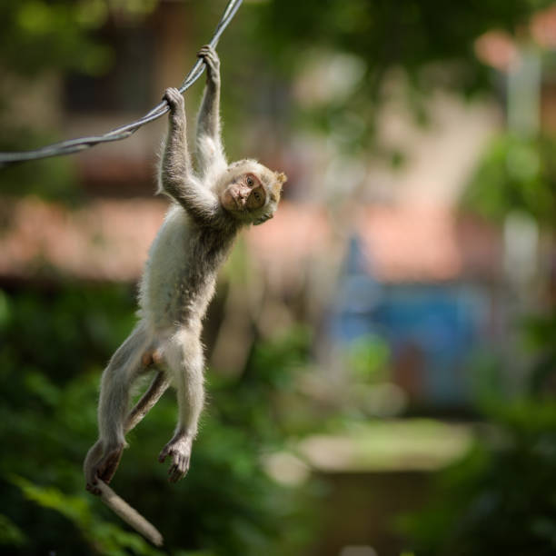 A young long-tailed macaque monkey is hanging from a wire in the balinese Hindu temple of the sacred Ubud Forest in Bali, Indonesia. stock photo