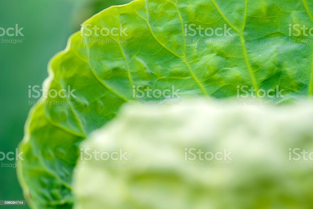 young  lotus leaf royalty-free stock photo
