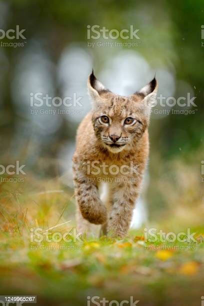 Young lynx in green forest wildlife scene from nature walking lynx picture id1249965267?b=1&k=6&m=1249965267&s=612x612&h=hxld4rd2vudziop2mjruj6sai0byebxgwjomuhqr zi=