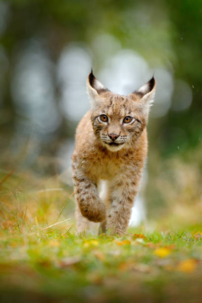 Young Lynx in green forest. Wildlife scene from nature. Walking Eurasian lynx, animal behaviour in habitat. Cub of wild cat from Germany. Wild Bobcat between the trees. Hunting carnivore in autumn grass. stock photo