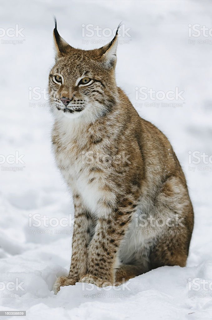Young Lynx in the Snow stock photo