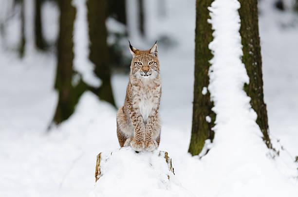 Junge Lynx sitzt auf einem hängenzubleiben – Foto
