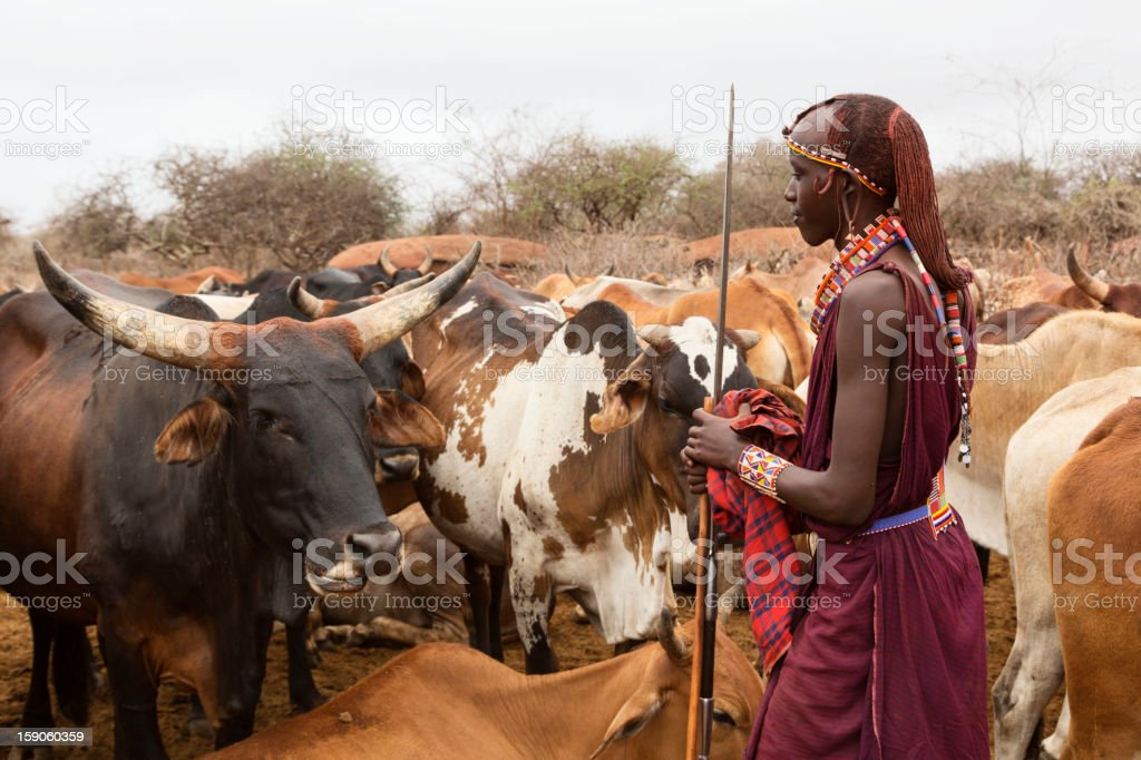 Young Maasai warrior (moran) with cattle in background, stock photo