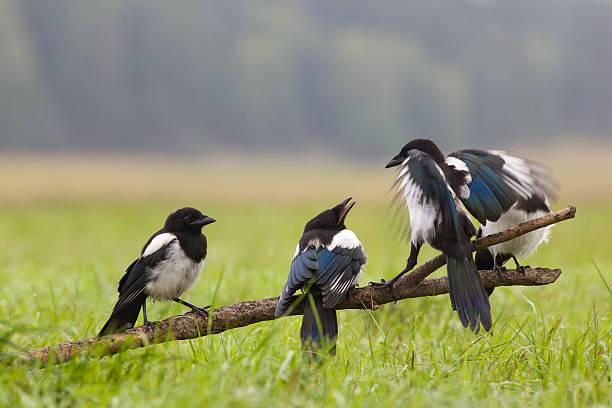 Junge magpies. – Foto