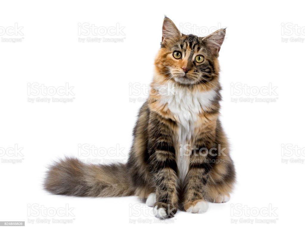 Young Maine Coon kat / kitten zitten geïsoleerd op witte achtergrond foto