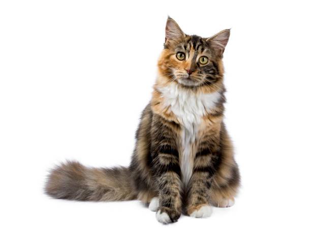 genç maine coon kedi / oturan kedi yavrusu izole beyaz arka plan üzerinde - kabarık stok fotoğraflar ve resimler