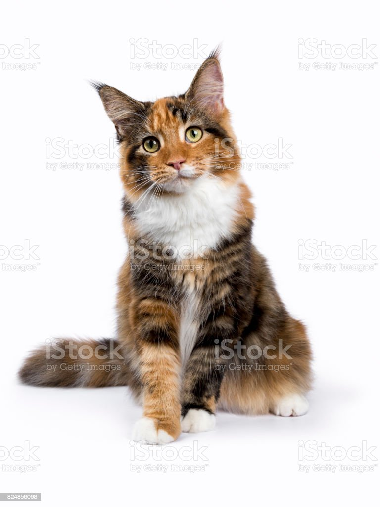 Young Maine Coon cat / kitten sitting isolated on white background – zdjęcie