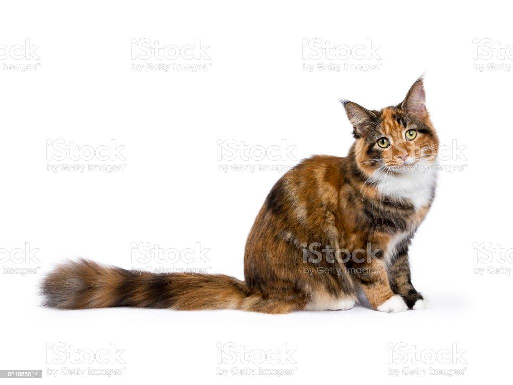 Young Maine Coon kat / kitten zitten kant manieren geïsoleerd op witte achtergrond foto