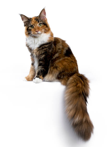 2dc5233f35 Young Maine Coon cat   kitten sitting side ways with tail hanging from edge  isolated on
