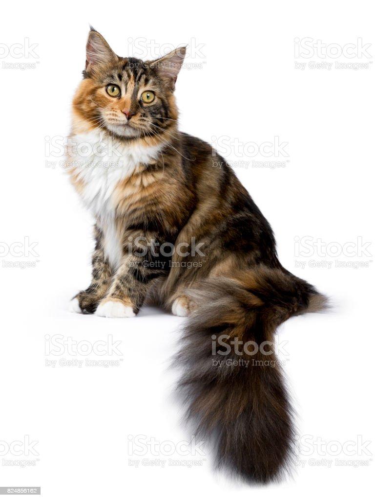 Young Maine Coon kat / kitten zitten kant manieren met staart opknoping van rand geïsoleerd op witte achtergrond foto