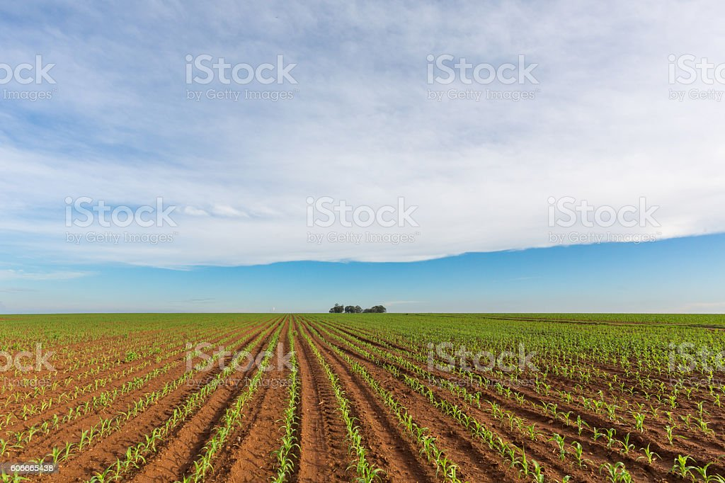 Young Maize stock photo