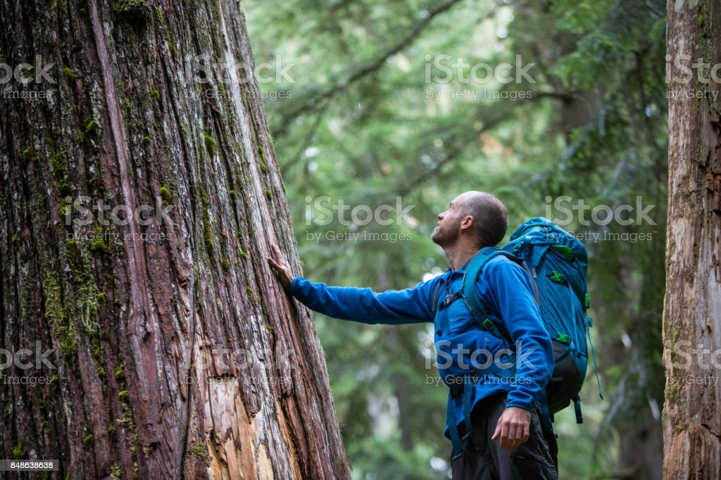 Young male admiring the ancient cedars stock photo