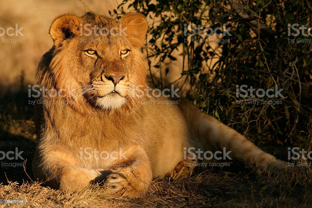 Young male African lion royalty-free stock photo