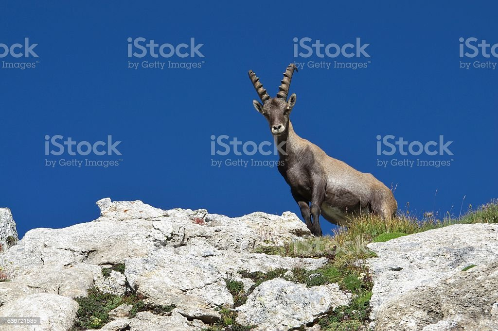 Young male alpine ibex looking down stock photo