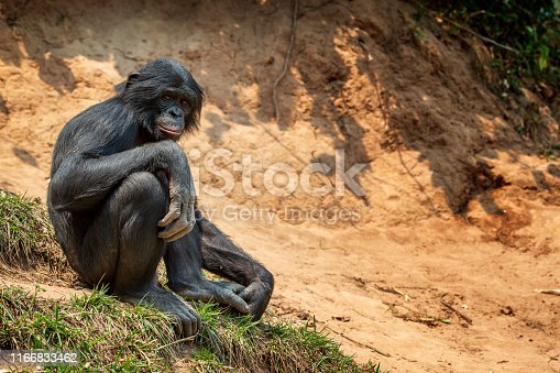 Juvenile Bonobo (Pan paniscus) sitting on the shore of a river. The Bonobo is one of the great apes (as well es Gorilla, Chimpanzee and Orang Utan). In former times Bonobos were also called pygmy chimpanzee. The only place where Bonobos could be found is the Tropical Rainforest in the Congo Basinof the Democratic Republic of the Congo, south of the Congor River.