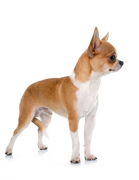 young male chihuahua young male chihuahua in front of white background short haired chihuahua stock pictures, royalty-free photos & images