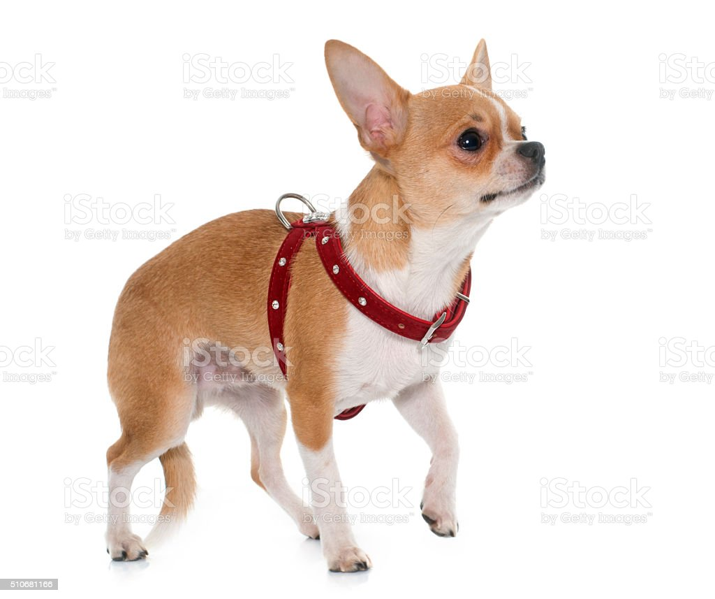 young male chihuahua stock photo