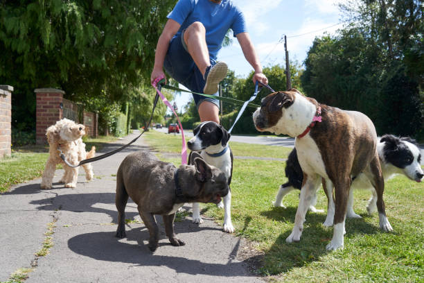 Young male dog walker struggling to walk dogs along suburban street stock photo