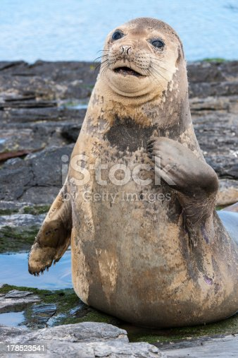 istock Young Male Elephant Seal 178523541