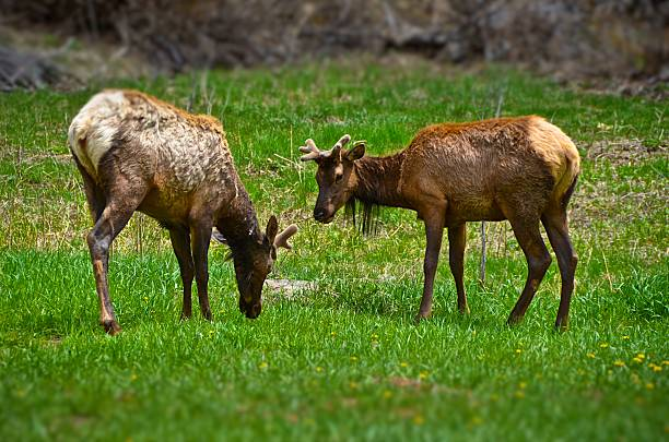Young Male Elk in Mountain Meadow stock photo