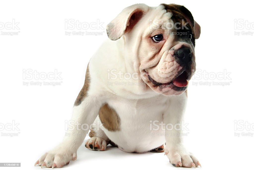 Young Male English Bulldog Sitting on a White Background royalty-free stock photo