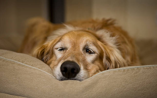 Young Male Golden Retriever Waking From A Nap stock photo