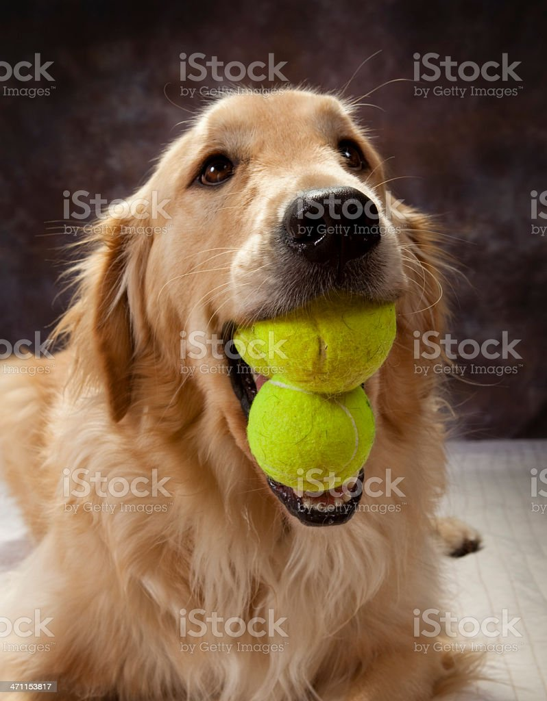 Young Male Golden Retriever With Three Balls In Mouth royalty-free stock photo