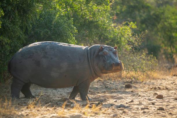 A young male hippo – zdjęcie