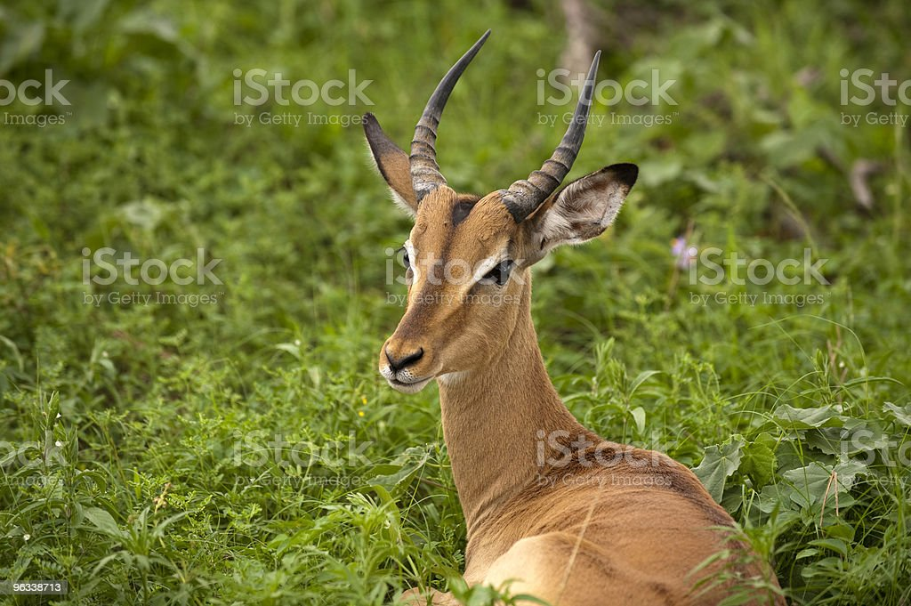 Młody mężczyzna impala - Zbiór zdjęć royalty-free (Afryka)