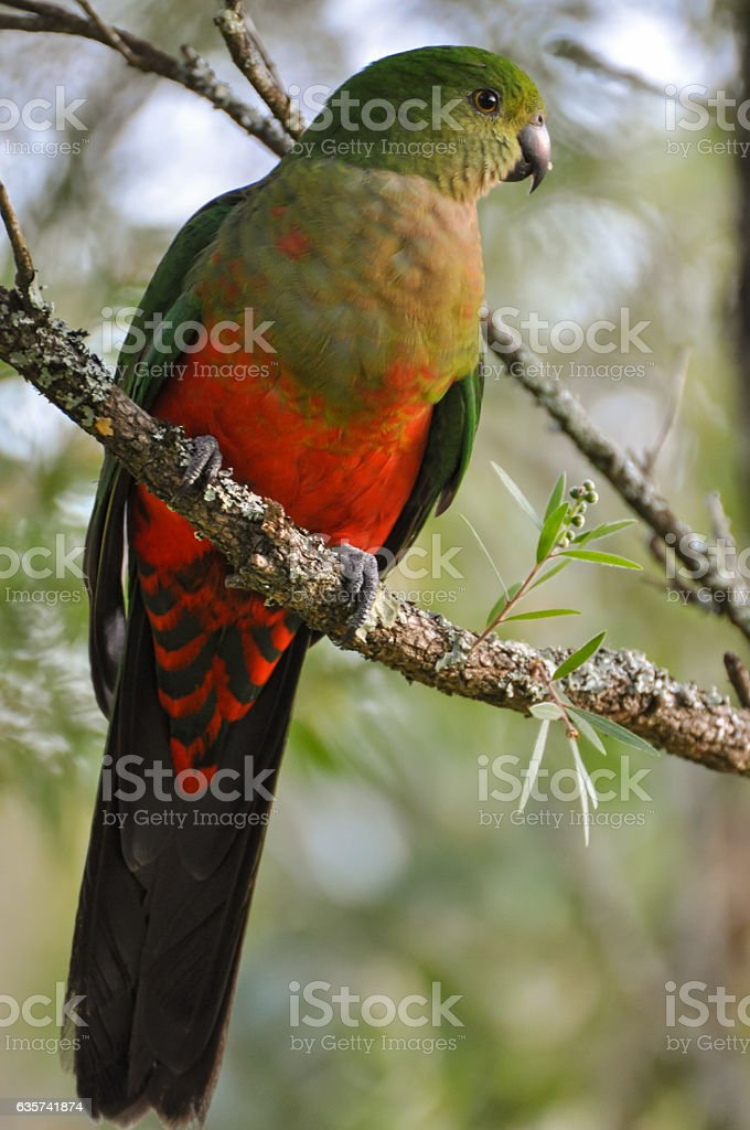 Young Male King Parrot stock photo