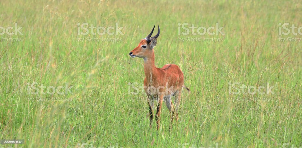 Young male Kob (Kobus kob) in the Queen Elisabeth National Park in Western Uganda stock photo