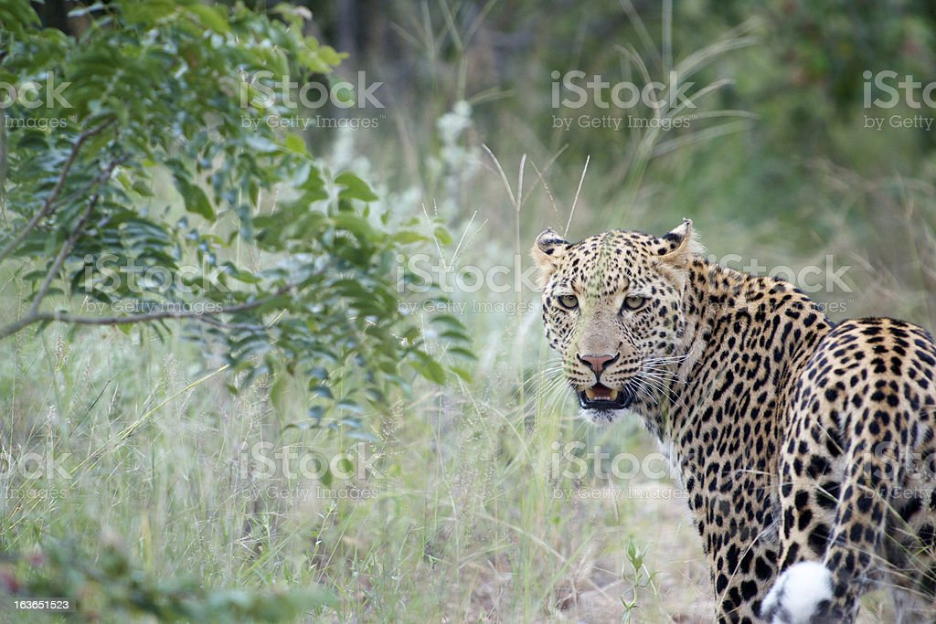 Young Male Leopard looking into Camera royalty-free stock photo