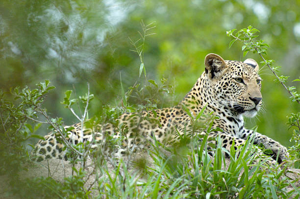 Young Male Leopard A Young Male Leopard Resting on a Mound After Supper aegis stock pictures, royalty-free photos & images