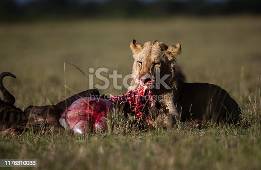 Young male lion eating his hunt in the wild. Copy space.