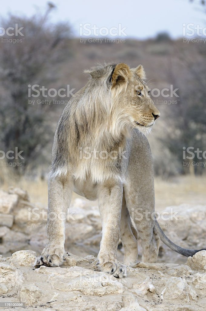 Young male lion hunting stock photo
