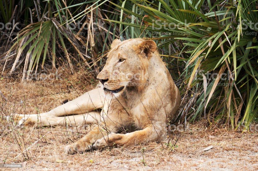Jeune male lion couché, Tanzanie - Photo